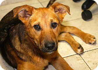 German Shepherd Dog/Terrier (Unknown Type, Medium) Mix Dog for adoption in Bloomington, Minnesota - Blake