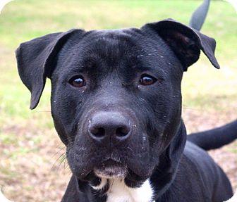 Pit Bull Terrier Mix Dog for adoption in Daytona Beach, Florida - Norman
