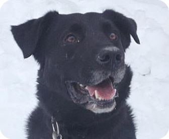 Labrador Retriever Mix Dog for adoption in Mt. Pleasant, Michigan - Legion