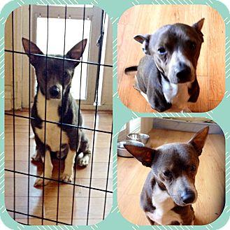 Bull Terrier/Chihuahua Mix Dog for adoption in Hurricane, Utah - Nacho