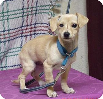 Dachshund/Terrier (Unknown Type, Small) Mix Dog for adoption in Gridley, California - Faith