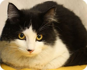 Domestic Mediumhair Cat for adoption in Rochester, New York - Millie
