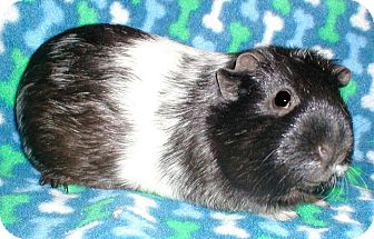 Guinea Pig for adoption in Highland, Indiana - Lucy