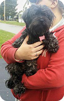 Shih Tzu/Poodle (Miniature) Mix Dog for adoption in Salamanca, New York - Peanut