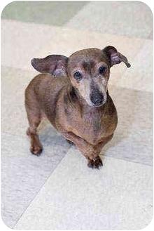 Dachshund Dog for adoption in Portland, Oregon - Lucy