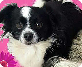 Papillon/Chihuahua Mix Dog for adoption in Pompton Lakes, New Jersey - Suzie