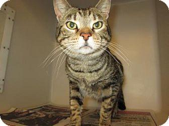 Domestic Shorthair Cat for adoption in Cumming, Georgia - Maddie