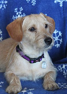 Cairn Terrier/Terrier (Unknown Type, Small) Mix Dog for adoption in Wichita, Kansas - Darby