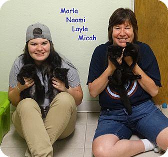 Domestic Mediumhair Kitten for adoption in Elyria, Ohio - Naomi