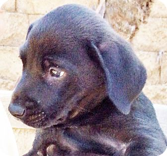 Labrador Retriever/Terrier (Unknown Type, Medium) Mix Puppy for adoption in Poway, California - Lily