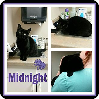 Domestic Shorthair Cat for adoption in Steger, Illinois - Midnight