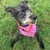 Poodle (Miniature) Mix Dog for adoption in Alpharetta, Georgia - Virna