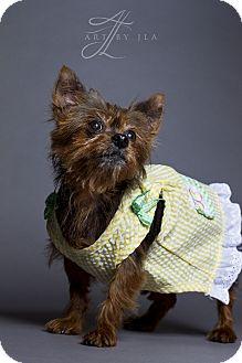 Yorkie, Yorkshire Terrier Dog for adoption in Baton Rouge, Louisiana - Demi