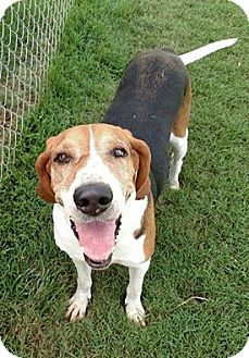 Treeing Walker Coonhound/Foxhound Mix Dog for adoption in Sweetwater, Tennessee - Mushmouth