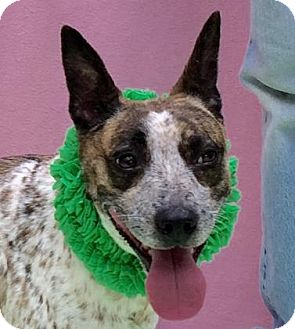 Blue Heeler Mix Dog for adoption in Evansville, Indiana - Nevada