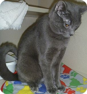 Domestic Shorthair Cat for adoption in Hamburg, New York - Sterling