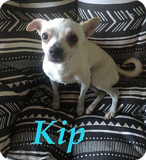 Chihuahua Mix Dog for adoption in Mesa, Arizona - KIP - 2YR OLD CHIHUAHUA