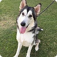 Alaskan Malamute Dog for adoption in Apache Junction, Arizona - BRUCE
