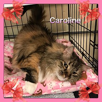Domestic Longhair Cat for adoption in Atco, New Jersey - Caroline