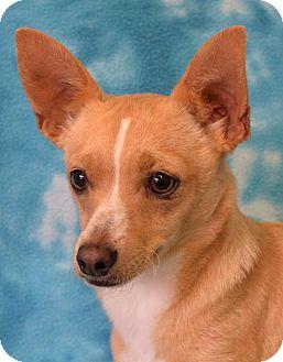 Chihuahua/Welsh Corgi Mix Dog for adoption in Eureka, California - Looper