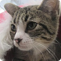 Adopt A Pet :: Adorable wee Alice Loving Gray Tabby Kitten - Brooklyn, NY