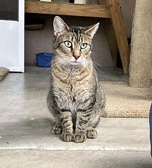 Domestic Shorthair Cat for adoption in Ocala, Florida - JUPITER