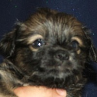 Adopt A Pet :: Hercules Hicks - Seattle, WA