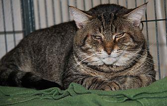Domestic Shorthair Cat for adoption in Marietta, Ohio - Odin (Neutered) - Update