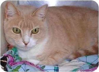 Domestic Shorthair Cat for adoption in San Clemente, California - SIERRA