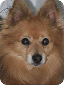 Pomeranian/Chihuahua Mix Dog for adoption in Rigaud, Quebec - Milo