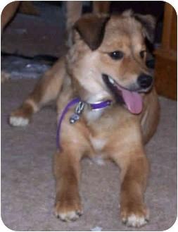 Husky/Shepherd (Unknown Type) Mix Puppy for adoption in Proctorville, Ohio, Ohio - Sophie