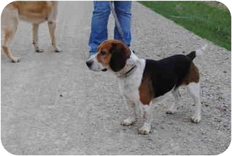 Beagle/Basset Hound Mix Dog for adoption in Marion, Wisconsin - Winston