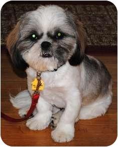 Shih Tzu Dog for adoption in Osseo, Minnesota - Friday