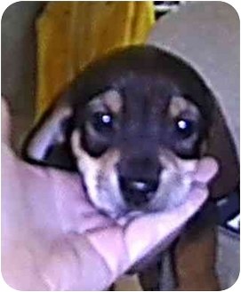 Beagle/Dachshund Mix Puppy for adoption in Cincinnati, Ohio - Doxie Mix Pups