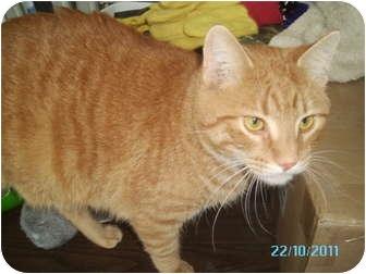 Domestic Shorthair Cat for adoption in Tipton, Iowa - Tiger