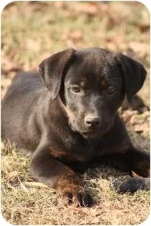 Labrador Retriever Mix Puppy for adoption in Cranford, New Jersey - Paul