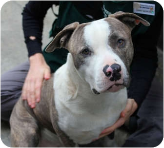 American Pit Bull Terrier Dog for adoption in Los Angeles, California - Hugo gentle pup @shelter VIDEO