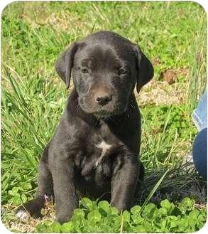Boxer/Golden Retriever Mix Puppy for adoption in Westbrook, Connecticut - Cowboy