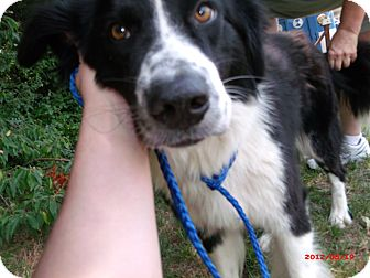 Border Collie Mix Dog for adoption in Cranford, New Jersey - Ranger-ADOPTED
