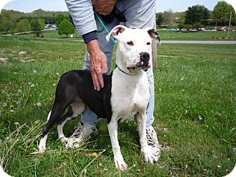 American Pit Bull Terrier Mix Dog for adoption in Zanesville, Ohio - # 071-12 - ADOPTED!