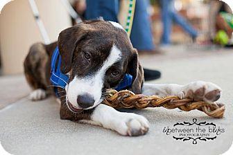 Plott Hound/Border Collie Mix Dog for adoption in Raleigh, North Carolina - Jackson