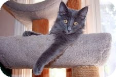 Domestic Mediumhair Kitten for adoption in Arlington, Virginia - Marvin