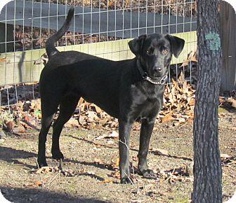 Labrador Retriever Mix Puppy for adoption in West Bridgewater, Massachusetts - Aimee
