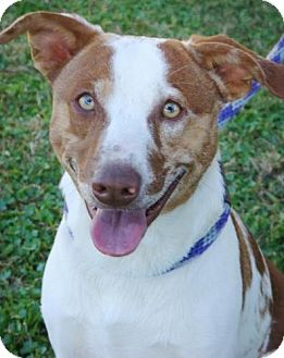 Australian Shepherd/Australian Cattle Dog Mix Dog for adoption in Red Bluff, California - Marshall
