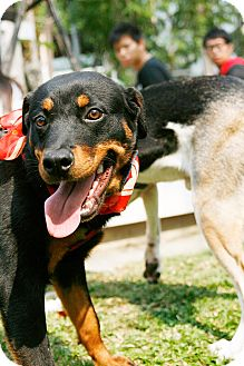 Rottweiler Puppy for adoption in Temple City, California - DaDa