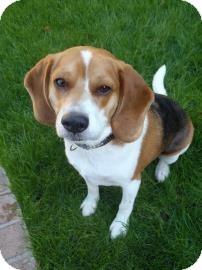 Beagle Mix Dog for adoption in Phoenix, Arizona - Marshall2