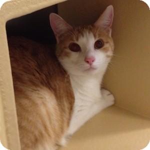Domestic Shorthair Cat for adoption in Gilbert, Arizona - Evan