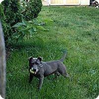 Adopt A Pet :: Archie - selden, NY