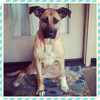 German Shepherd Dog Mix Dog for adoption in Rochester, New Hampshire - STELLA