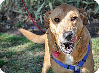 Collie Mix Dog for adoption in Gainesville, Florida - Honey